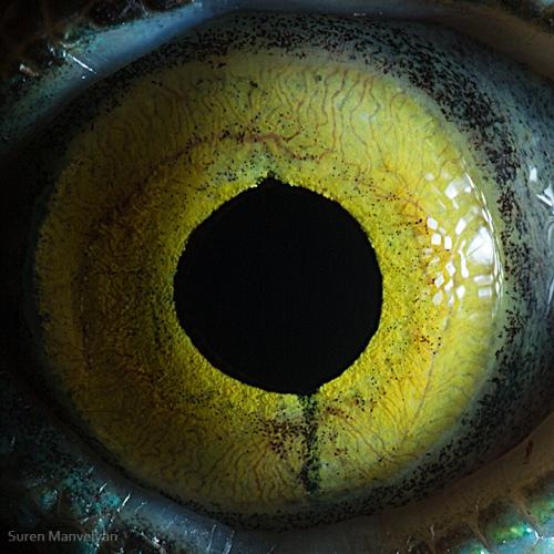 Eyes - Close Up Photos - Suren Manvelyan - Basiliscus lizard
