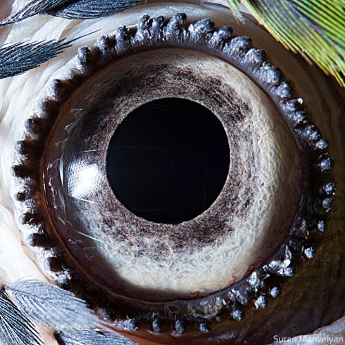 Eyes - Close Up Photos - Suren Manvelyan - Blue-yellow macaw parrot