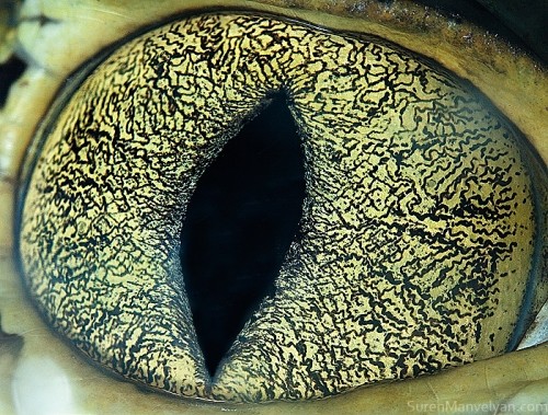 Eyes - Close Up Photos - Suren Manvelyan - Caiman