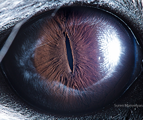 Eyes - Close Up Photos - Suren Manvelyan - Chinchilla