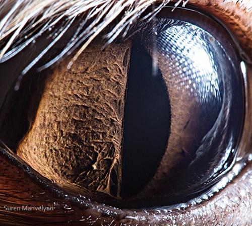 Eyes - Close Up Photos - Suren Manvelyan - Fennec Fox