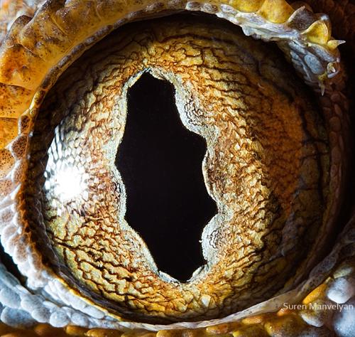 Eyes - Close Up Photos - Suren Manvelyan - Gecko Tokay