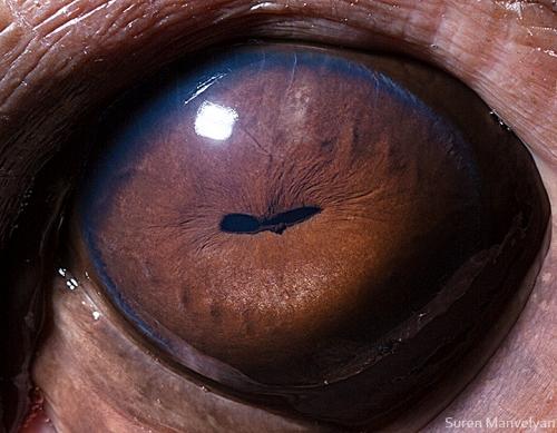 Eyes - Close Up Photos - Suren Manvelyan - Hippo