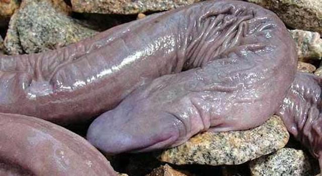 Giant Penis Snake Brazil