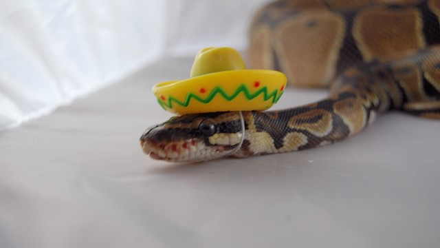 Snakes Wearing Hats – Sick Chirpse