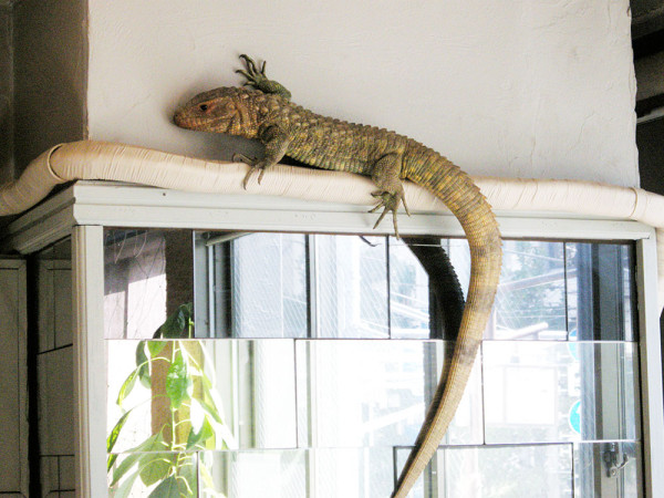 Weird Theme Restaurant - Japan - Yakohama Reptile Cafe - Caiman Lizard