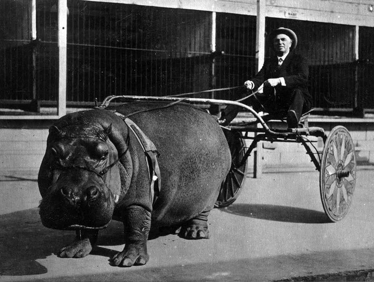 hippo wagon