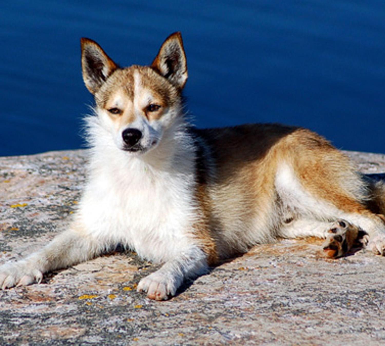 norwegian-lundehund-dog-photo