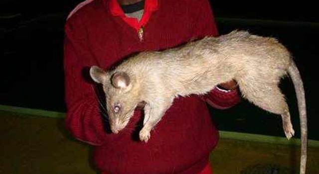 Longest Weirdest - Longest Rat
