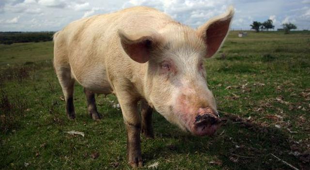 Pig Semen