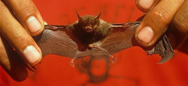 Smallest Things - Bat - Kitti's hog-nosed bat