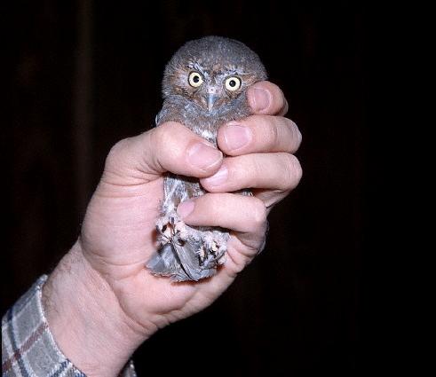Smallest weirdest stuff - Elf Owl in Hand