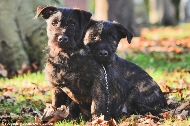 wottie puppies