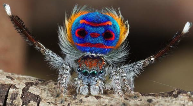 Coastal Peacock Spider Featured