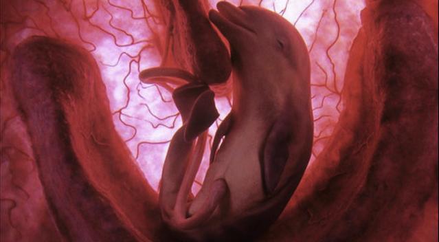 Dolphin Foetus