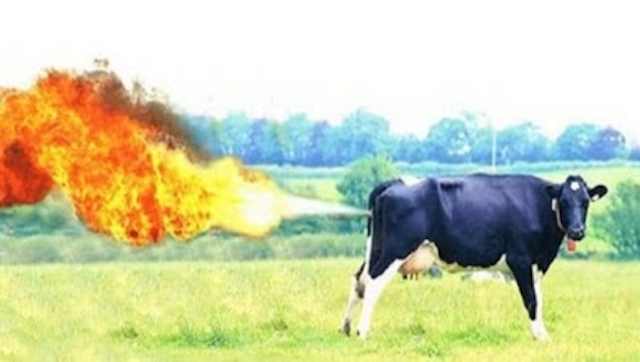 Farting Cows