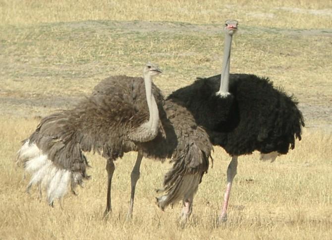 Ostrich Tunbridge Wells - two wild