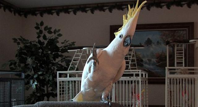 Parrots Dancing