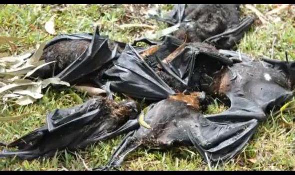 Thousands Dead Bats - Queensland Australia - Bodies