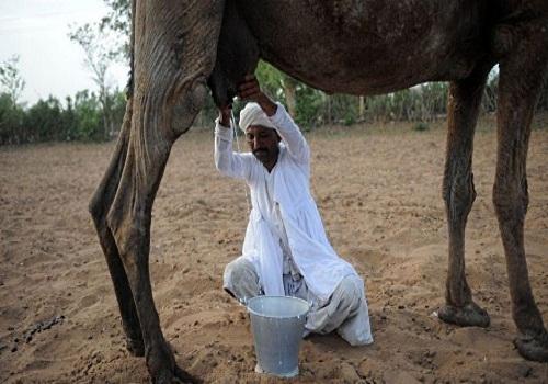 Camel Milk - Camelicious - camel milking 4