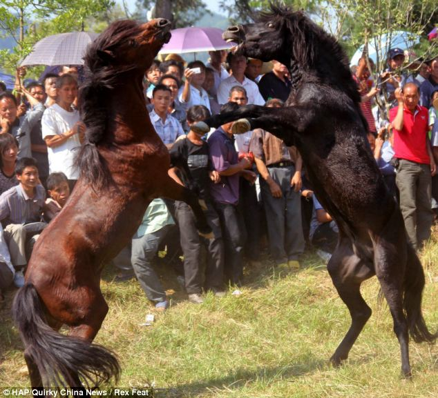 Chinese Horse Fights - New Year - black beauty