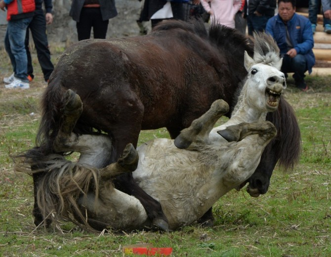 Photos Chinese Horse Fights Page 2 Sick Chirpse