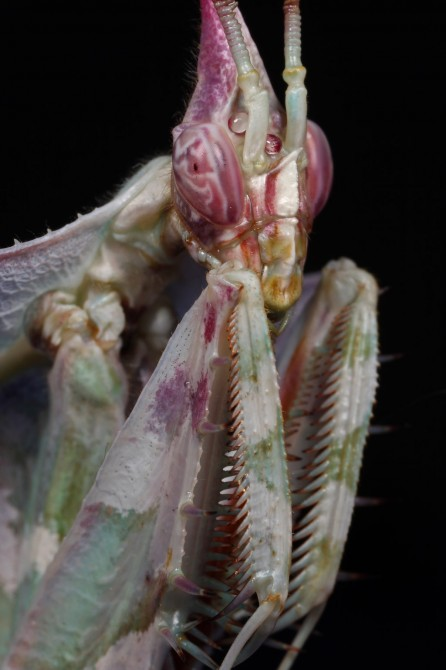 Weird Ugly Insects - Devil's Flower Mantis or Idolomantis Diabolica 2