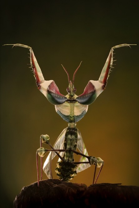 Weird Ugly Insects - Devil's Flower Mantis or Idolomantis Diabolica