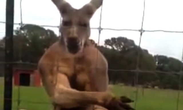 Video Henchest Kangaroo Ever Posing And Flexing Like A Bodybuilder