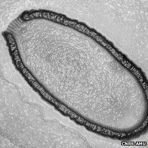 Ancient Virus 30,000 Pithovirus sibericum 2