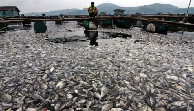 Dead Fish - Maninjau lake - Indonesia 2