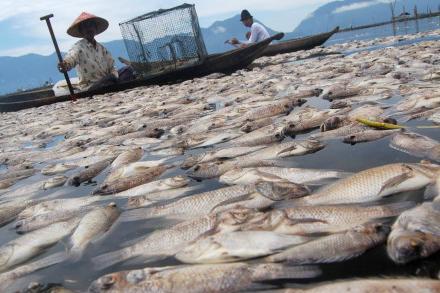 Dead Fish - Maninjau lake - Indonesia