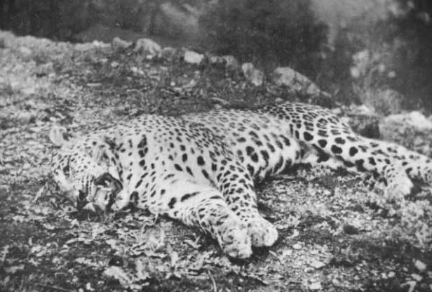 Man-Eaters - Body COunt Animals - Panar Leopard
