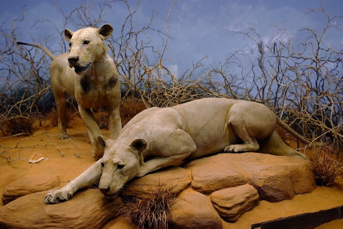 Man-Eaters - Body COunt Animals - Tsavo Lions Africa stuffed