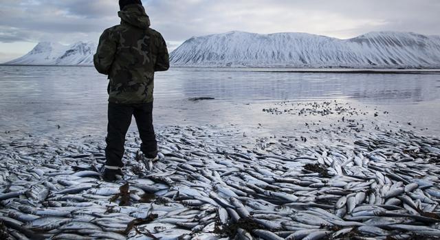Mass Animal Deaths - Iceland herrings