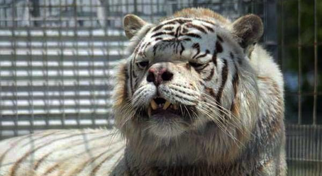 White Tiger Down's Syndrome