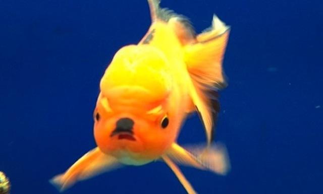 this fish looks like sick chirpse