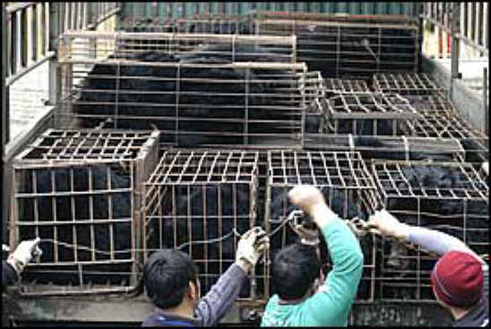 Bile Bear Farming China - Crush Cages