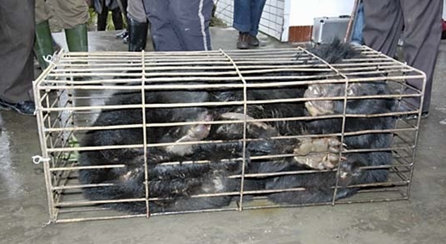 Bile Bear Farming China - petrified