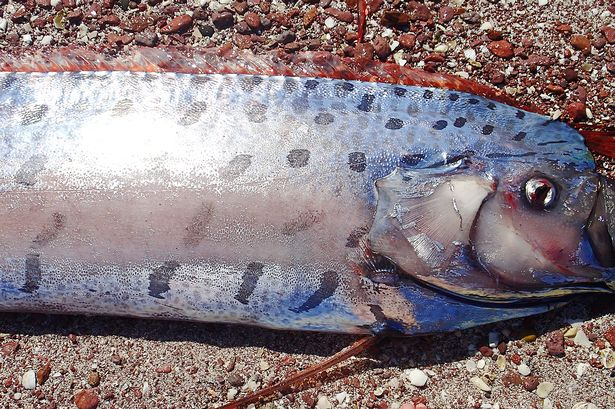 Weird News - Giant Oarfish Mexico