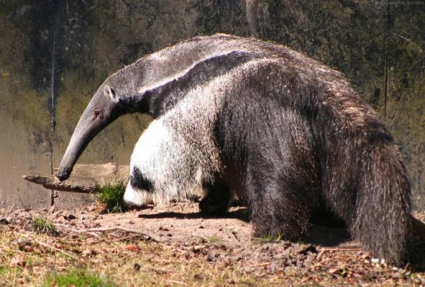 anteater2