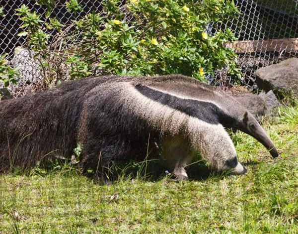 anteater3