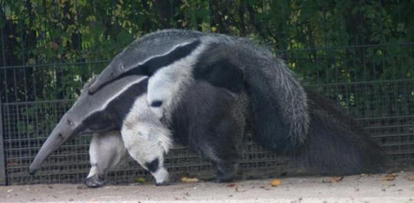 anteater6