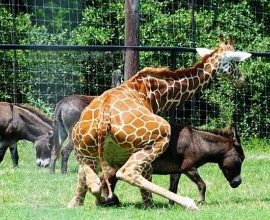 giraffe bum pony