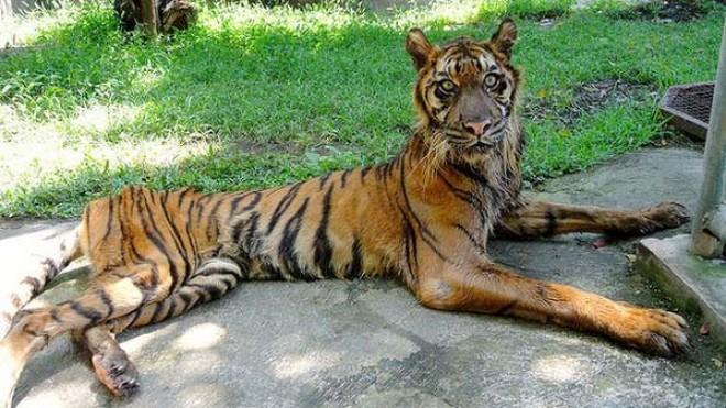 Surabaya Zoo Tiger