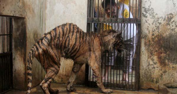 Tiger Surabaya