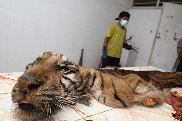 Deceased Tiger Surabaya Zoo