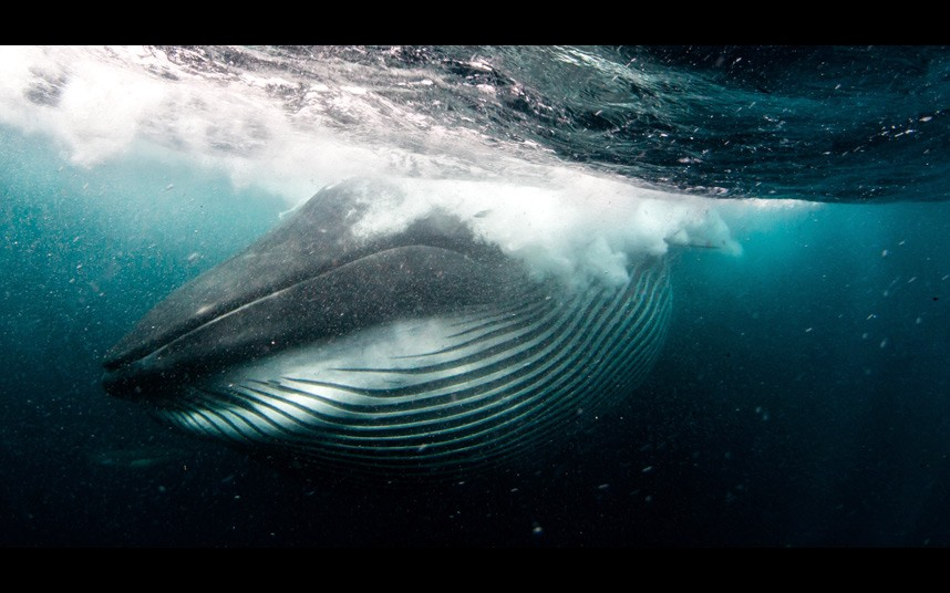 Diver Almost Swallowed By Whale 2