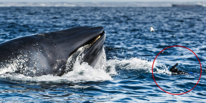 Diver Almost Swallowed By Whale