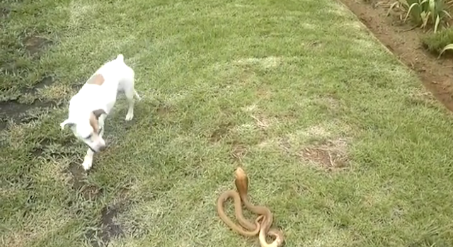 Dog Vs Cobra
